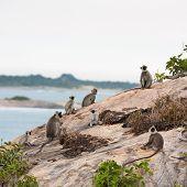 Monkeys in jungles of Sri Lanka sitting on a rock poster