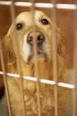 Golden Retriever Dog In Cage At Veterinary Surgery poster