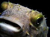 A porcupine fish head,  close up shot poster
