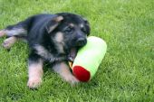 a german shepherd cross-breed puppy playing with her colorful toy poster