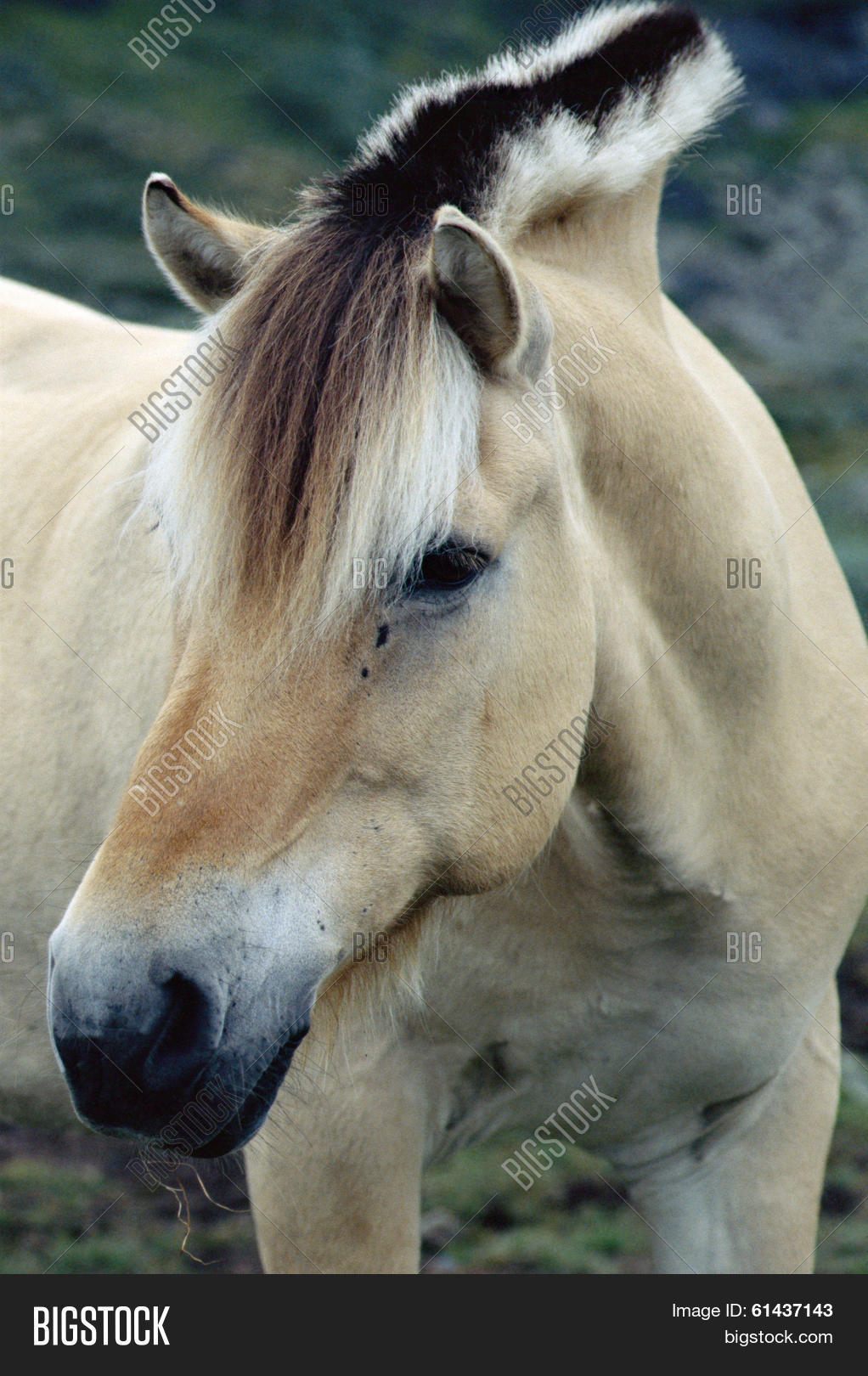 Fjord Horse Stallion Image Photo Free Trial Bigstock