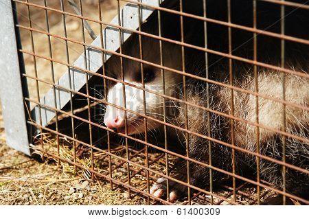 Caged Opossum