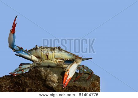 live blue crab in a fight pose on the rock