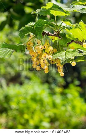 White Currants On A Blurred Background Of Garden