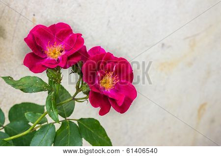 Wild Rose On Gray Wall Background