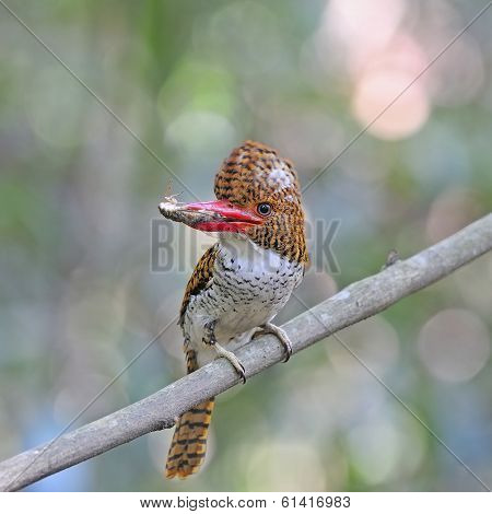 Multicolored Kingfisher female Banded Kingfisher (Lacedo pulchella) breast profile with cicada on the branch poster