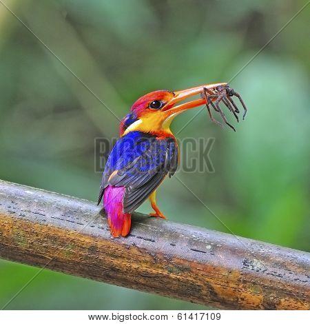Female Black-backed Kingfisher