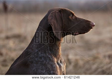 Pointer Hunting Dog Sitting And Looking Into The Distance