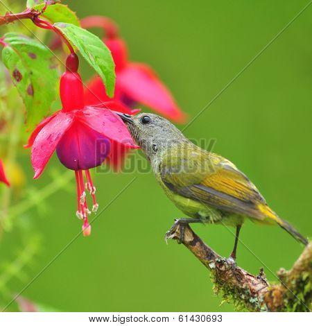 Sunbird Eating Fuchsia Flowers
