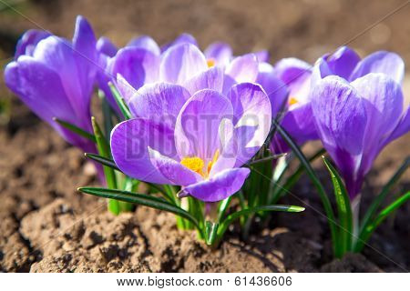 Purple Crocuses In Spring Day