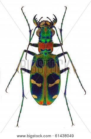 exotic tiger beetle Cicindela chinensis