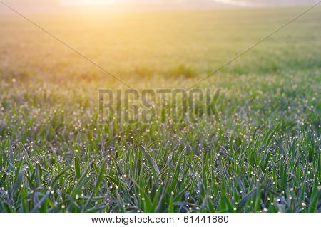 Dew On Grass On A Sunny Spring Morning