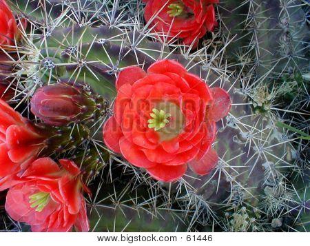 Claret Cup Cactus Blooom