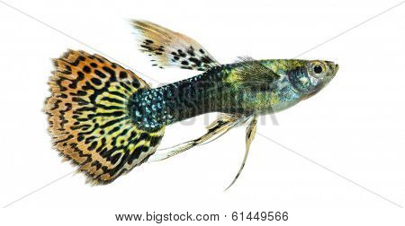 Side view of a Guppy swimming, Poecilia reticulata, isolated on white