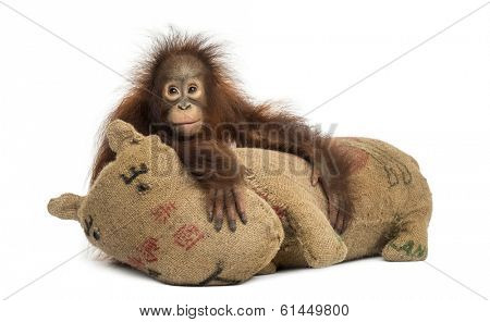Young Bornean orangutan hugging its burlap stuffed toy, Pongo pygmaeus, 18 months old, isolated on white