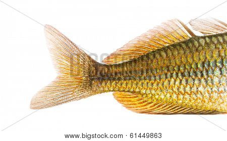 Close-up of an Eastern Rainbowfish's caudal fin, Melanotaenia splendida splendida, isolated on white
