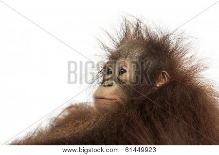 Close-up of a young Bornean orangutan's profile, looking away, Pongo pygmaeus, 18 months old, isolated on white