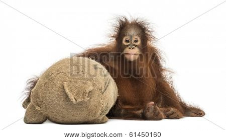 Front view of a young Bornean orangutan hugging its burlap stuffed toy, Pongo pygmaeus, 18 months old, isolated on white