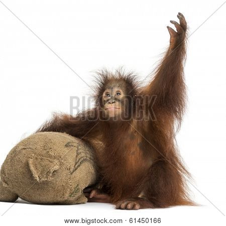 Young Bornean orangutan with its burlap stuffed toy, reaching up, Pongo pygmaeus, 18 months old, isolated on white