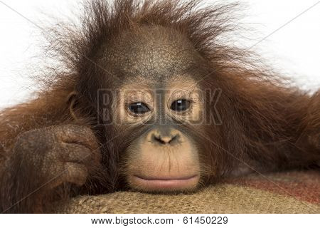 Close-up of a young Bornean orangutan looking tired, looking at the camera, Pongo pygmaeus, 18 months old, isolated on white