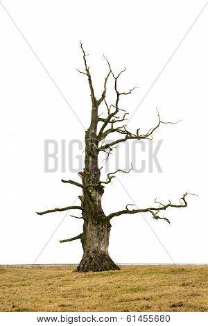 Bare Oak Tree