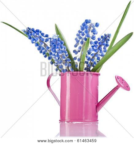 Blue Spring flowers Muscari in watering can Isolated on white background