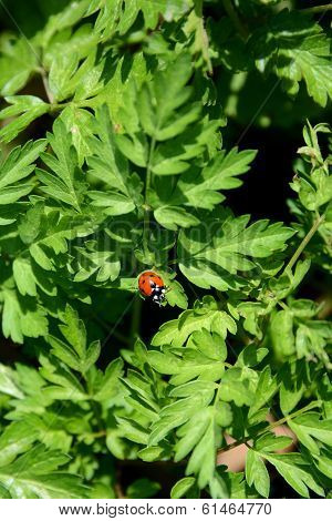 Ladybird sitting on the foliage of a cow parsley plant poster