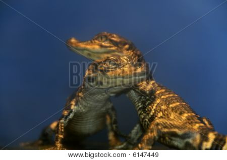 Two baby alligators together in a tank. poster
