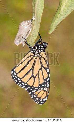 Monarch butterfly moments after eclosion from its chrysalis, waiting for its wings to fill up