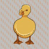 Vector illustration of realistic duckling front view, isolated poster