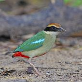 Colorful Pitta, Fairy Pitta (Pitta nympha), standing on the ground poster