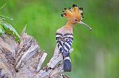Beautiful bird, Eurasian Hoopoe (Upupa epops), standing on the log poster