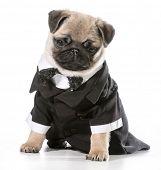 formal dog - pug wearing tuxedo isolated on white background poster