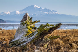 Snowy Owl in Boundary bay with Mt Baker
