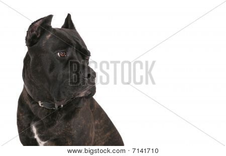 closeup headshot of a black bull mastiff pet dog over white looking into copyspace. horizontal format. poster