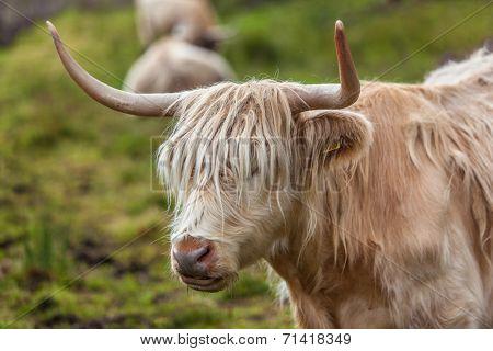 Highland cattle or Scottish cattle photographed on Isle of Skye