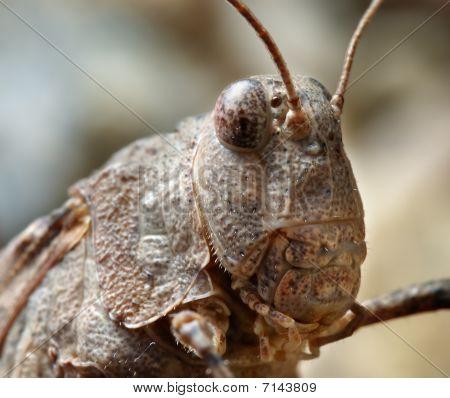 Grasshopper Oedipoda Caerulescens Close-up