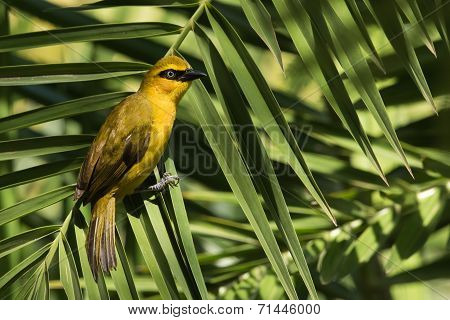 A Female Black-necked Weaver (ploceus Nigricollis) Resting On A Palm Leaf
