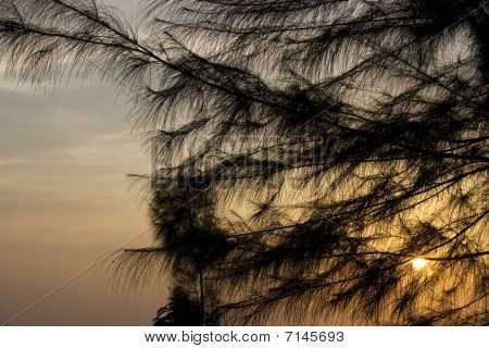 Pine and Sunset