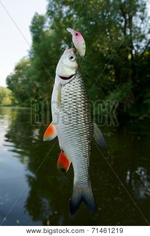 Chub caught on a plastic bait
