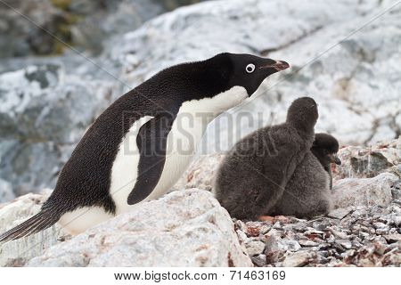 Female Adelie Penguins Near The Nest In Which Two Chicks