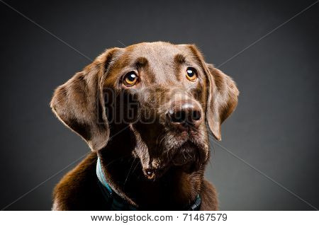 image of a chocolate lab portrait in studio poster