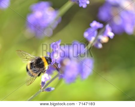 Busy Bee On Lavender.
