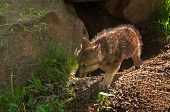 Grey Wolf (Canis lupus) Pup Moves Left out of Den - captive animal poster