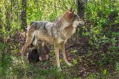 Grey Wolf (Canis lupus) Feeds Her Pups in Shady Area - captive animals poster