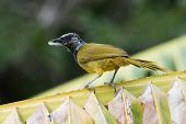 An Oriole Warbler (Hypergerus atriceps) on a palm leaf with nest material poster