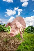 Cute pig grazing at summer meadow at mountains pasturage under blue sky. Organic agriculture natural background poster