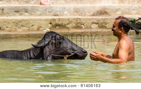 The man with a bull in a Kerala backwaters pond
