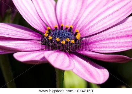 Marguerite in closeup