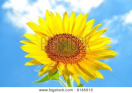 Large, bright flower sunflower